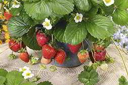 Чудо ягодница защищает саженцы