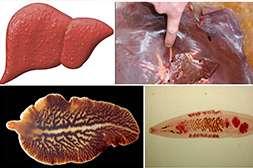 Капли Parazex обладают регенерирующим свойством