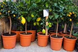 Вегетационный период Agronova длится от 3 до 4 месяцев.